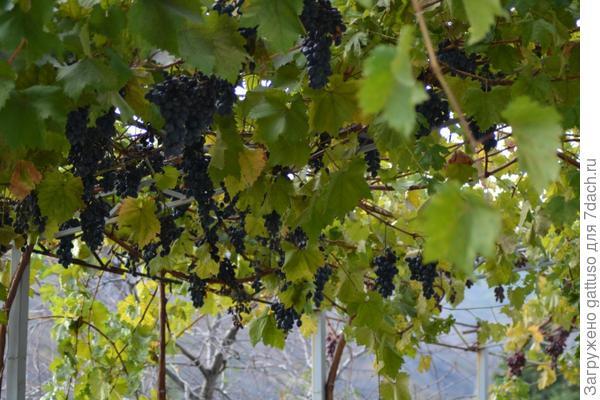 а какой там сладкий виноград, а вино та мммм. после крыма в бутылках не пью)))
