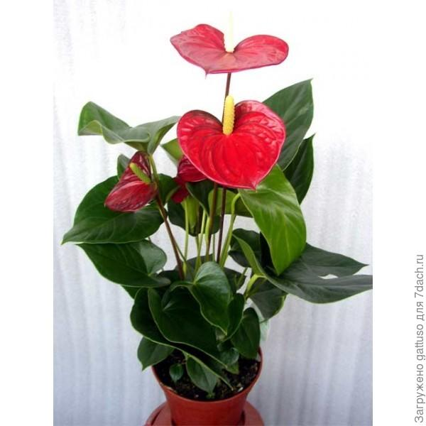 цветок фламинго