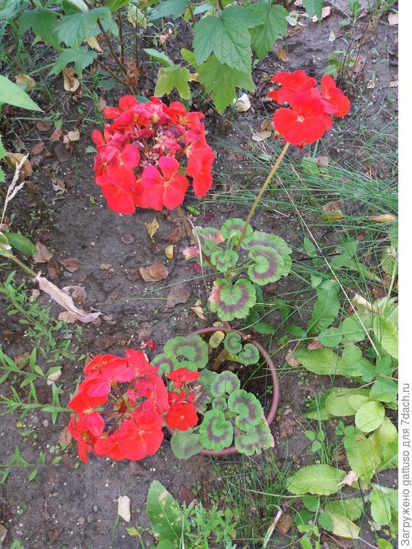 Семенами и вегетативно. Семена рекомендуется высевать под зиму или в апреле. Прорастание происходит в мае. На постоянное место обычно высаживают двухлетние растения. Расстояние между кустами около 40 см.