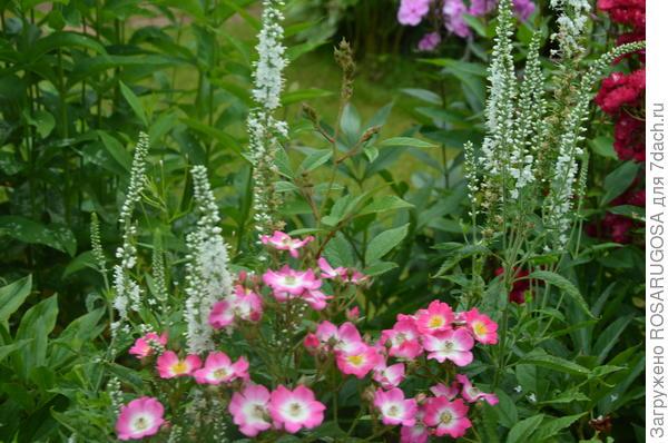 Белая вероника колосковая используется в качестве партнера и соседа лилий