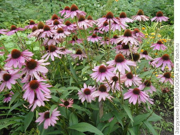 Прекрасный компаньон для лилий - эхинацея пурпурная
