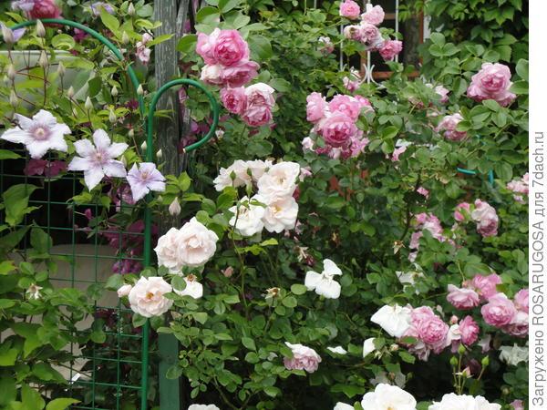 Розы в частном саду