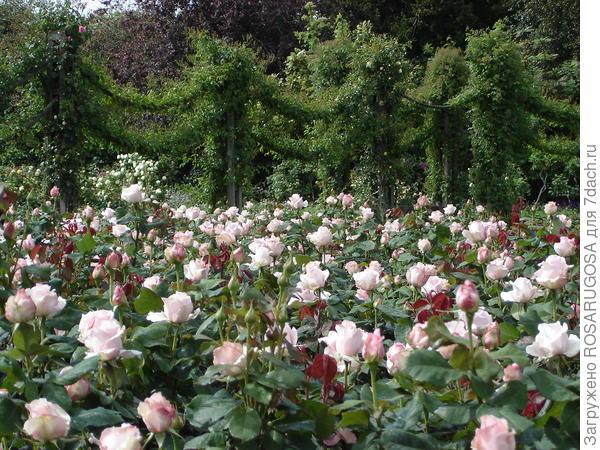 Розарий в Regents Park (Риджентс парк), г. Лондон