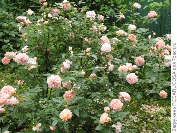 Цветки у красавицы Colette быстро осыпаются, но сразу зацветают новые
