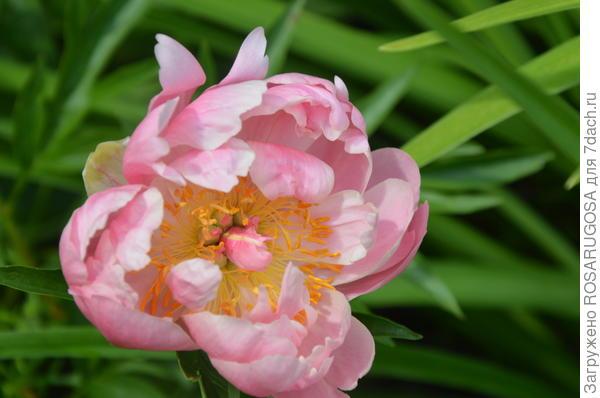 Цветок Coral Supreme. Фото автора