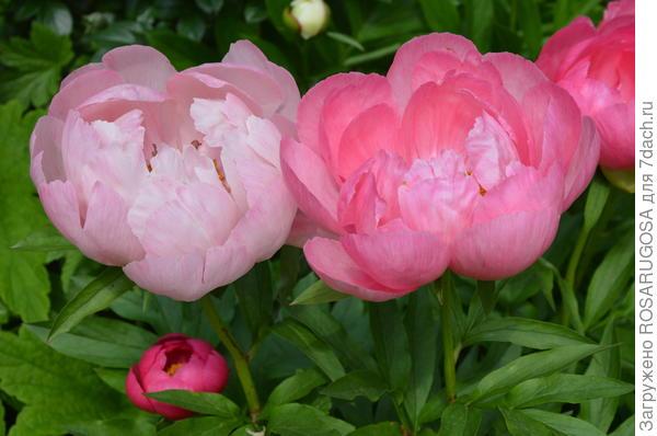 Цветы Cytherea разной степени роспуска. Фото автора