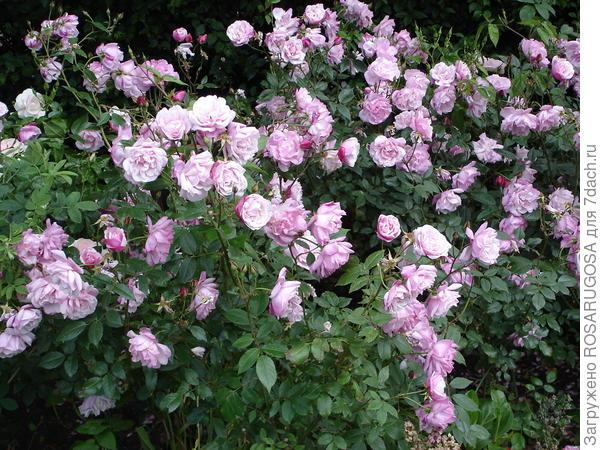 При правильном уходе розе гарантирована долгая жизнь. Фото автора