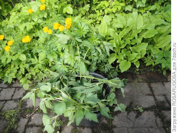 Крапива для зеленого удобрения берется без семян. Фото автора