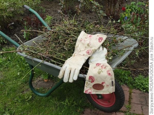 Во время обрезки розы теряют много побегов. Фото автора