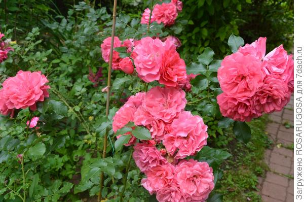 Сорт непрерывного цветения Les Quatre Saisons получит осеннюю подкормку в последнюю очередь. Фото автора