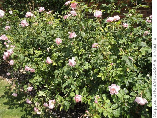 Грамотные подкормки роз в течение всего сезона дают прекрасный результат - кусты обильно и долго цветут. Фото автора