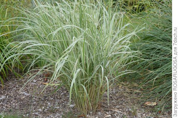Многие виды декоративных трав чрезвычайно агрессивны, поэтому их лучше высаживать в ёмкость без дна. Фото автора