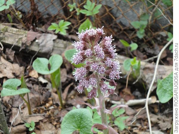 Необычный цветок белокопытника похож на что-то космическое с усиками-антеннами. Фото автора