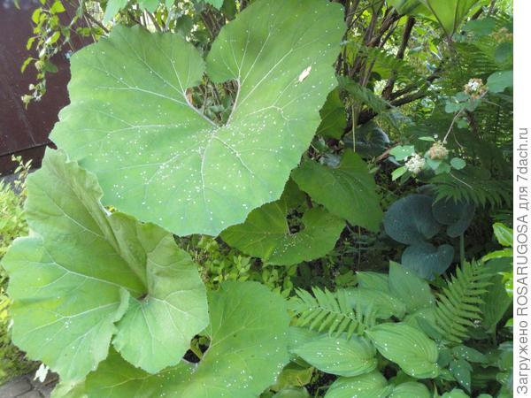 Листья белокопытника похожи на уши слона