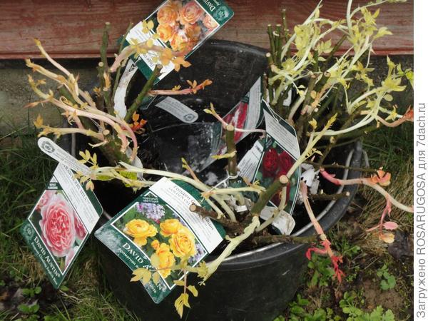 Переросшие саженцы роз перед посадкой на ночь помещаем в ведро в раствор Корневина для лучшей адаптации на месте. Фото автора