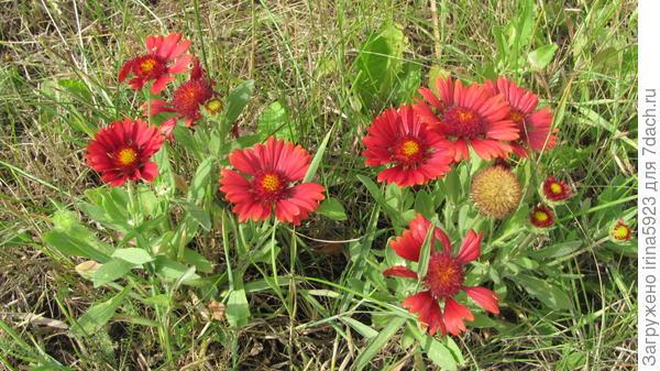 Купила в прошлом году на рынке, продавец название не знала...Цветок похож на рудбекию, многолетник -20-25см. высотой, растёт кустиком. Интересует точное название.