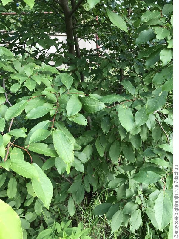 ...С такими листьями...