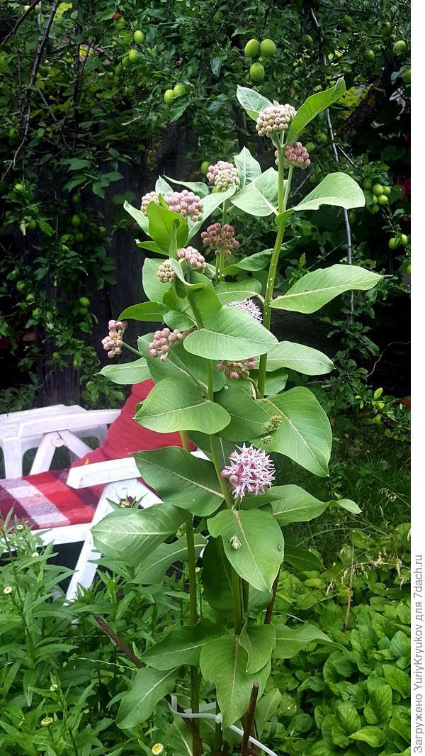Неизвестное растение. Лето 2016 года.