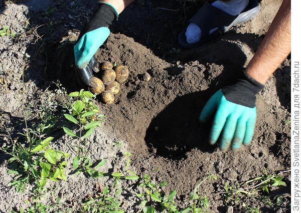 последняя грядка картошки посаженой в июле