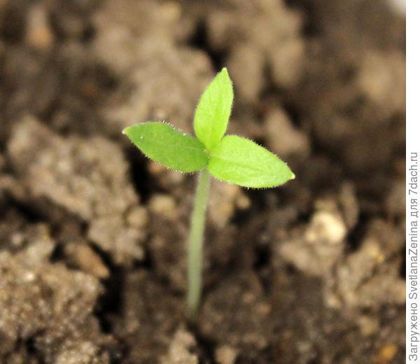 Росток с тремя семядольными листиками