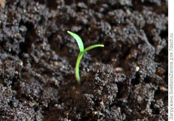 первый росток в грунте