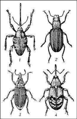 Долгоносики: 1 — желудёвый (Curculio glandium); 2 — гороховый клубеньковый (Sitona lineatus); 3 — свекловичный (Bothynoderes punctiventris); 4 — яблоневый цветоед (Anthonomus pomorum).