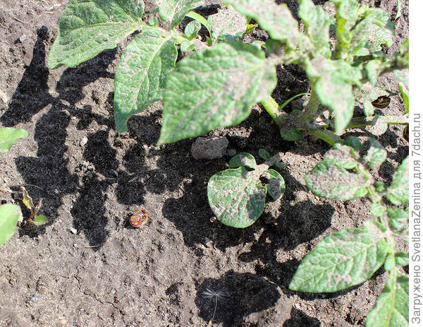 обработанный сильно разбавленным раствором куст с жуками