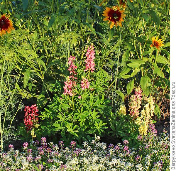 Люпин 'Бамбини' порадовал цветением