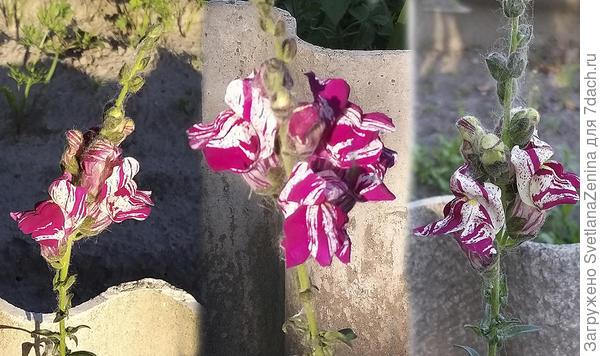 """Львиный зев в """"Пурпурном вальсе"""", или Вальс """"хамелеонов"""""""