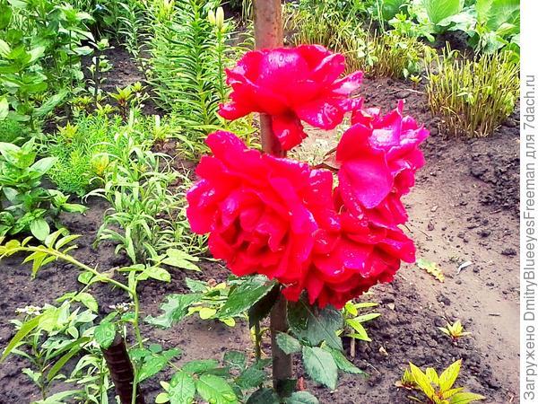 Страстные красные Розы