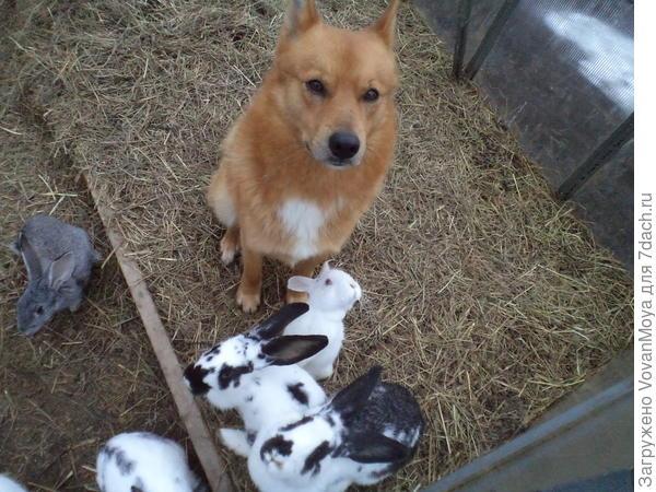 Это наши кролики и главный охранник Гром.
