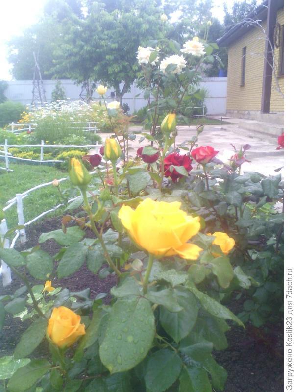 Розы с каплями дождя...