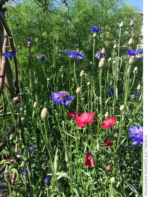 Лён крупноцветковый и василёк садовый...