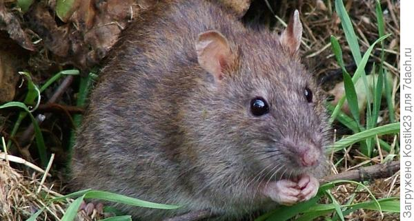 Земляная крыса.