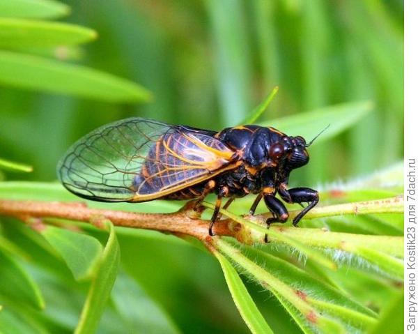 Взрослая 17 летняя цикада.