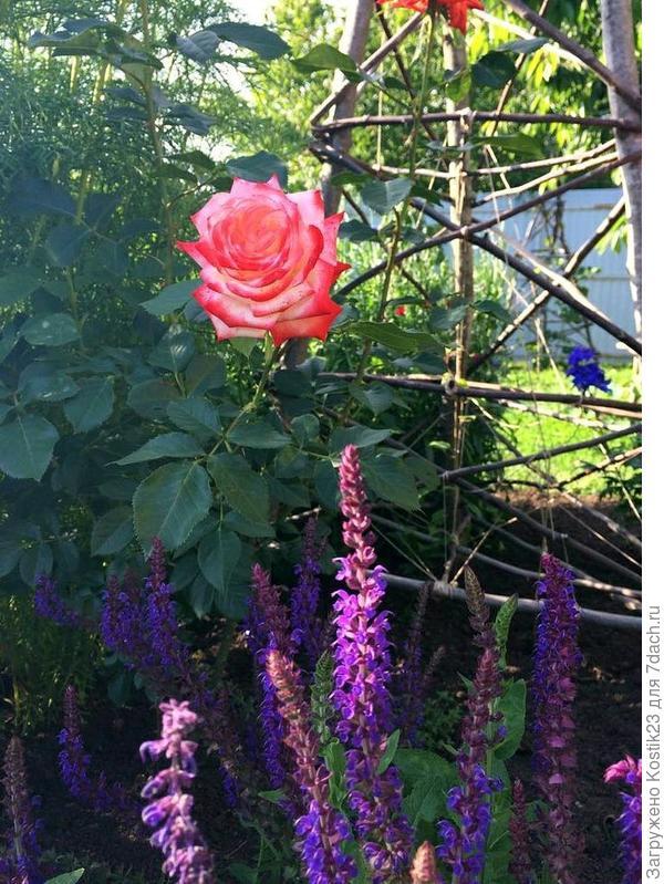 А это моя для клематисов с зади за розой виднеется.