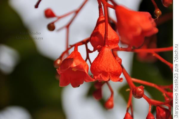 Брахихитон или как его называют - дерево счастья.