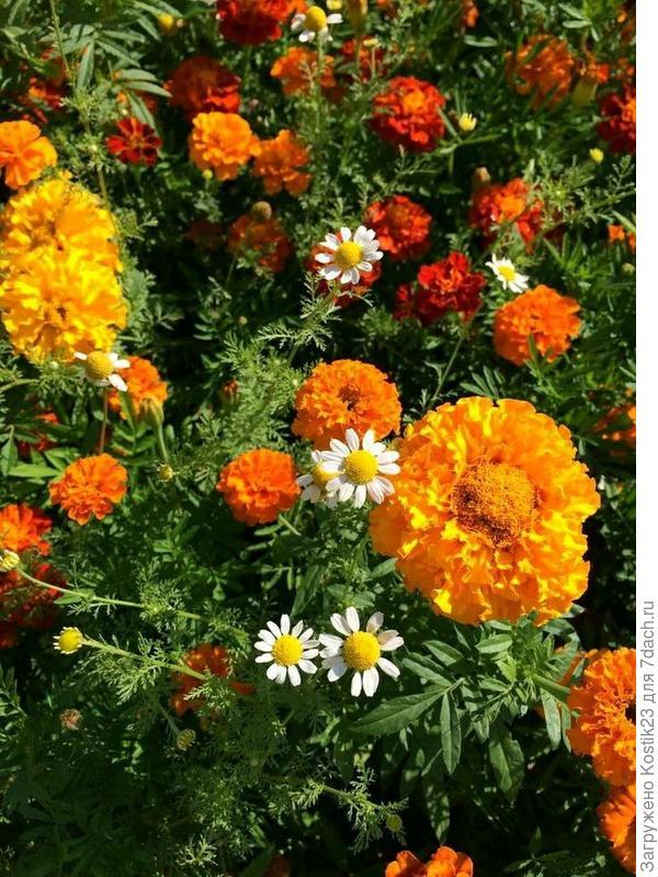На фото кажется ,что все бархатцы оранжевые а так в перемешку жёлтые и оранжевые :) И глазки у ромашек :)
