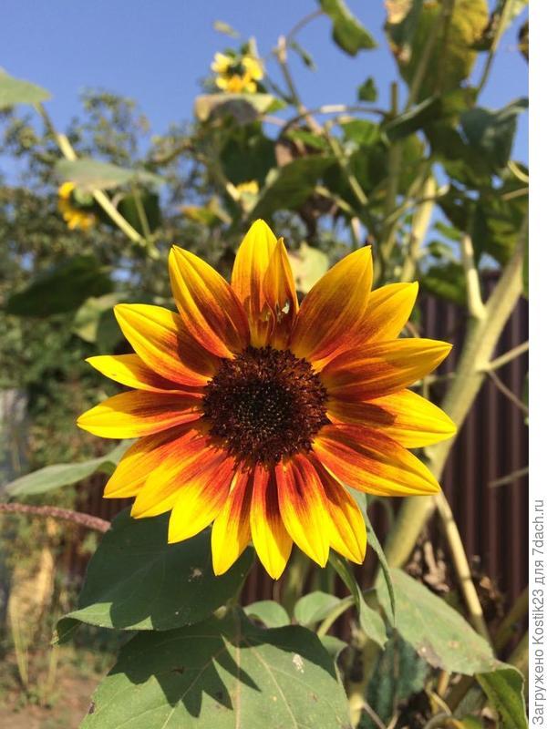 И неизменно у калитки и тёрна цветёт солнышки подсолнухи :)