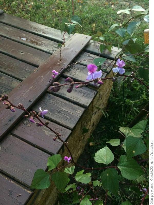 У колодца цветут обвивая опору гиацинтовые бобы ...