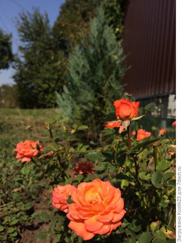 Так же там растут туи и цветут розы...)