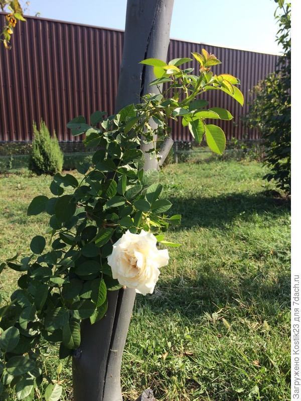 Так же,рядом чайные розы нашли свой дом :)