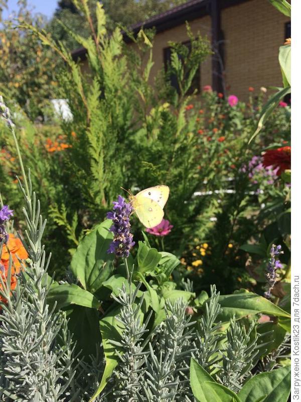 Бабочка на лаванде :)