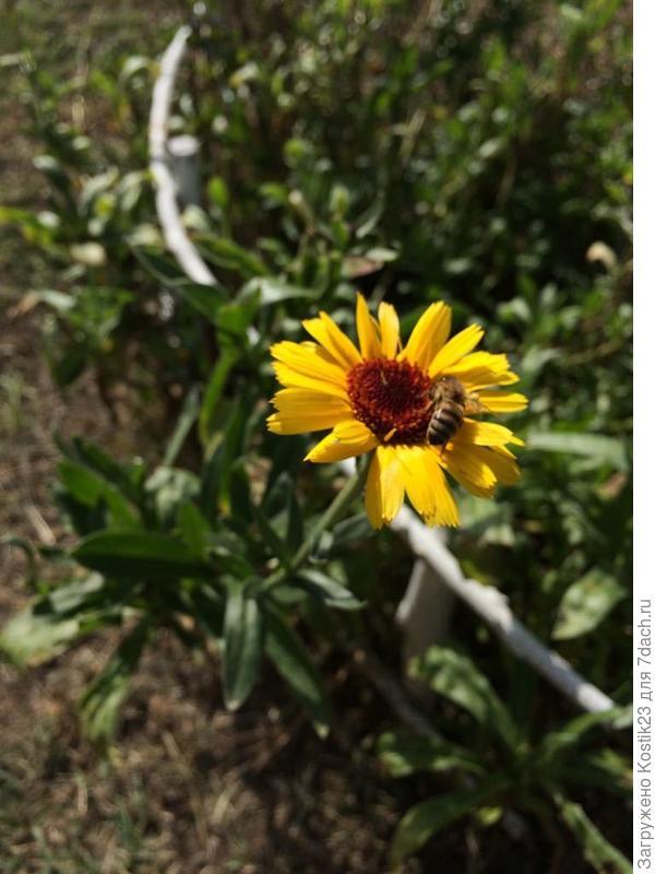 Пчёлка и ноготки :)