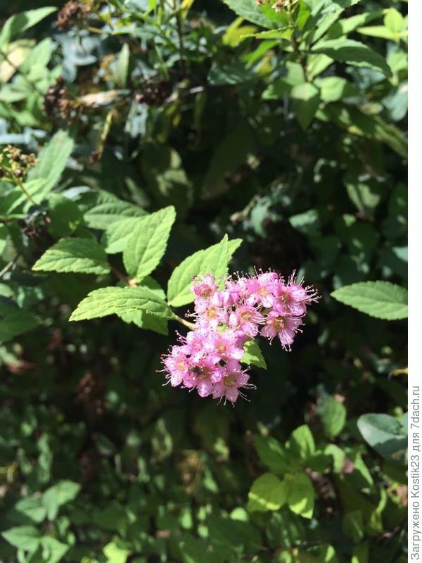 Кое-где на кусте спиреи японской появились цветы :)