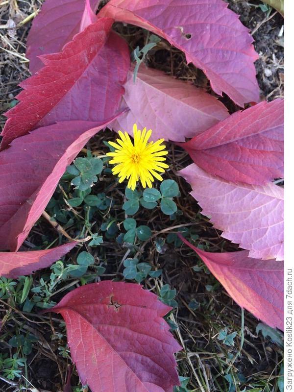 Вчера встретилась весна с осенью :) Одуванчик и опавшие красные листья винограда... :)