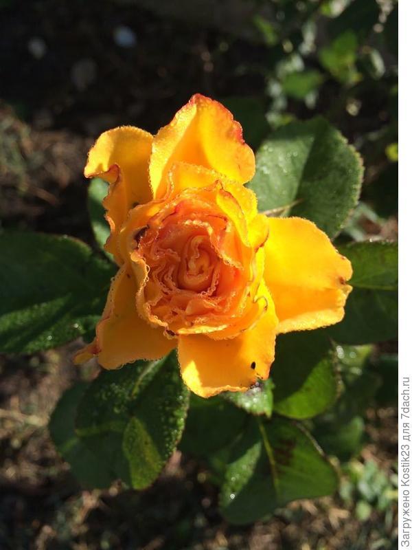 Жёлтые розы...