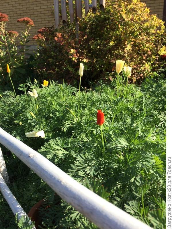 Распускаются цветы Эшшольции :)