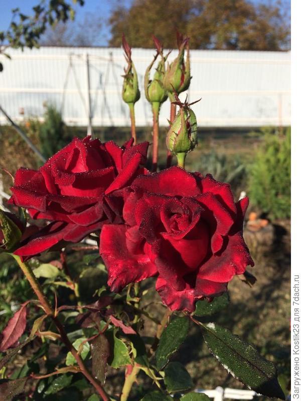 Розы в утренней россе...