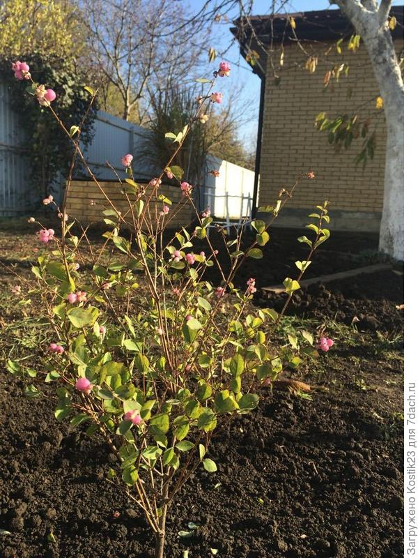 Новый жилец сада буквально позавчера посаженый , снежноягодник розовый сорт Меджик берри (Мagic berry ) ,честно говоря не очень любил эти кустарники но увидел этот сорт и всё ,не смог устоять :)